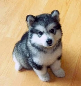 pomsky puppies